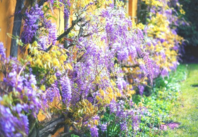 Soil Types - Clay Soil is Good for Wisteria