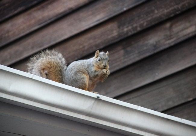 Attic Squirrels