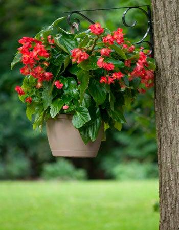Begonia Care Begonia Types