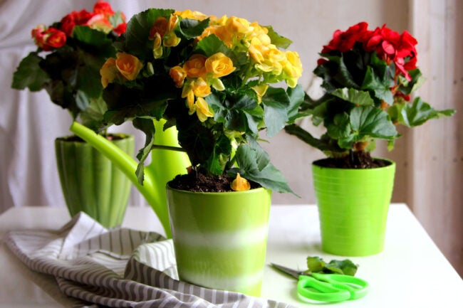 Begonia Care The Right Light
