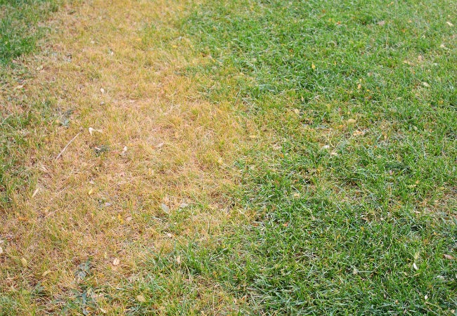 Treating Lawn Fungus - Brown Patch