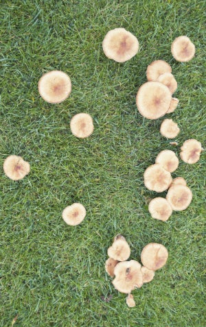 Treating Lawn Fungus - Mushrooms