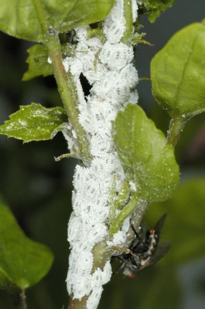 How to Get Rid of Mealybugs