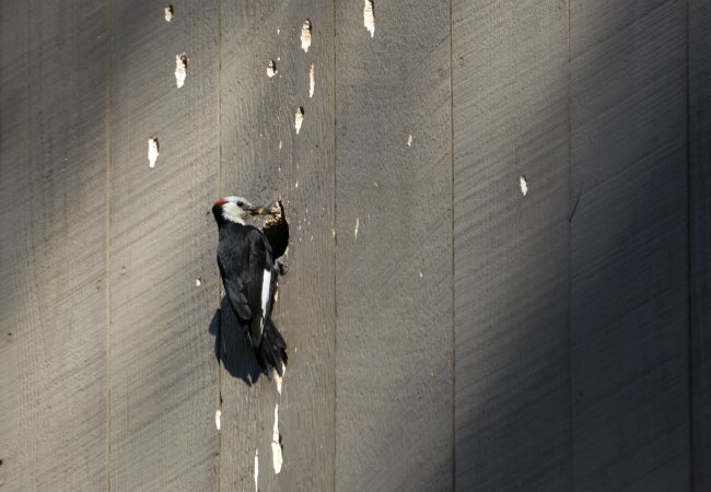 What to Do About Woodpecker Damage