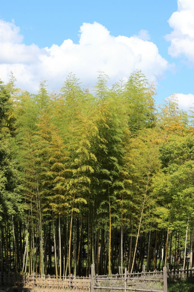 Fast-Growing Evergreen Trees - Golden Bamboo