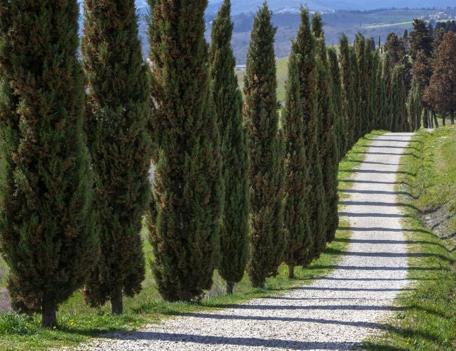 The Best Fast Growing Evergreen Trees Solved Bob Vila