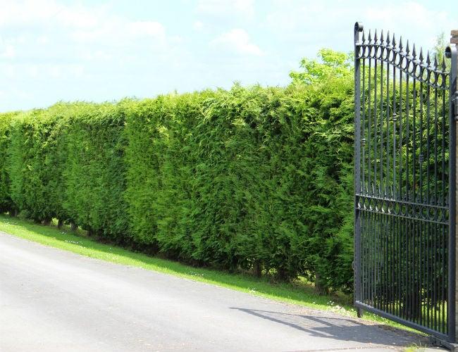 Fast-Growing Evergreen Trees - Leyland Cypress