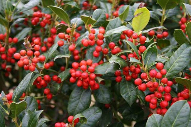 Fast-Growing Evergreen Trees - Nellie Stevens Holly