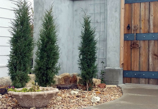 Fast Growing Evergreen Trees - Taylor Junipers