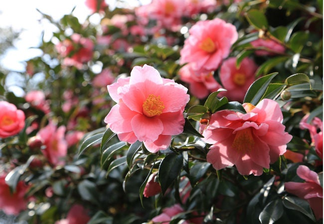 8 Colorful Winter Flowers to Know - The Camellia Rose