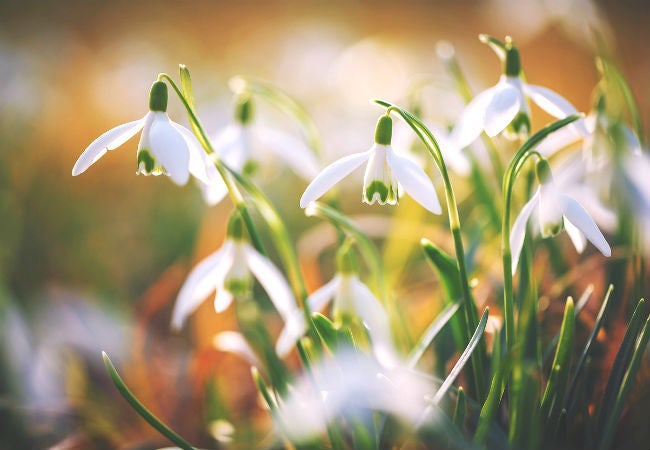 8 Colorful Winter Flowers to Know - The Snowdrop