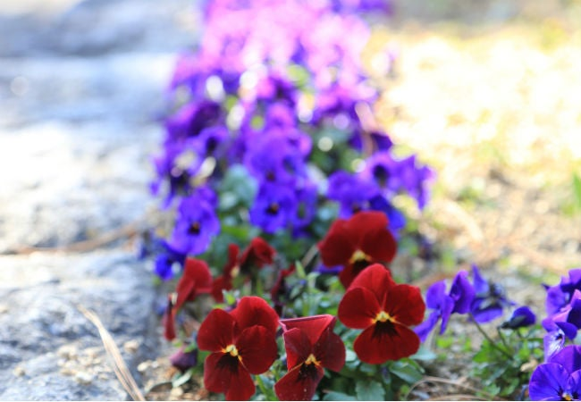 8 Colorful Winter Flowers to Know - The Winter Pansy