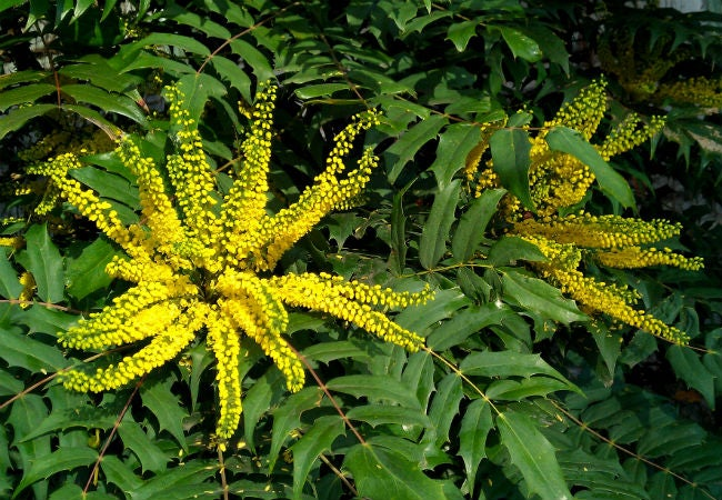 8 Colorful Winter Flowers to Know - The Winter Sun Mahonia