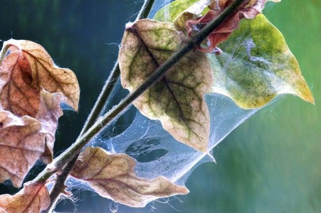 Houseplant Pests - Mites