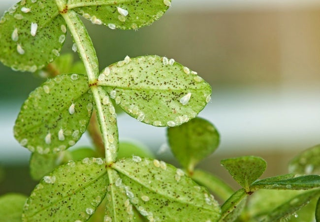 Houseplant Pests - Whiteflies