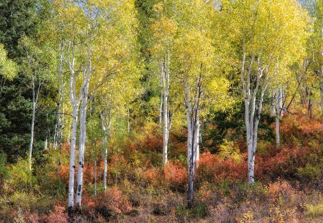 4 Trees with White Bark