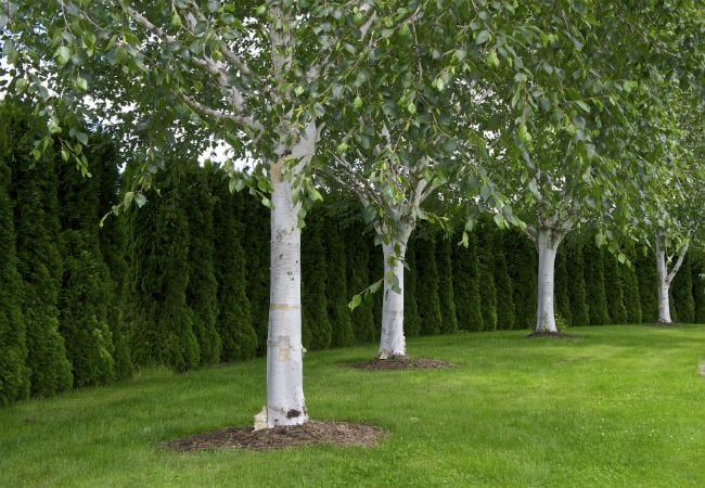 4 Trees with White Bark - The Himalayan Birch