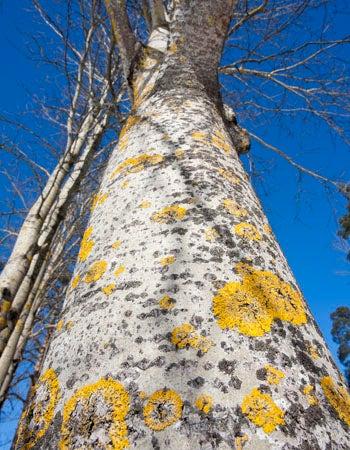 White Trees European Poplar
