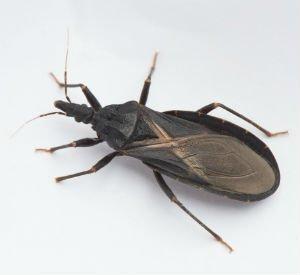 Beware the Kissing Bug Bite