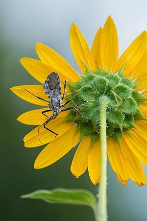 Assassin Bugs 101: All You Need to Know About Wheel Bugs