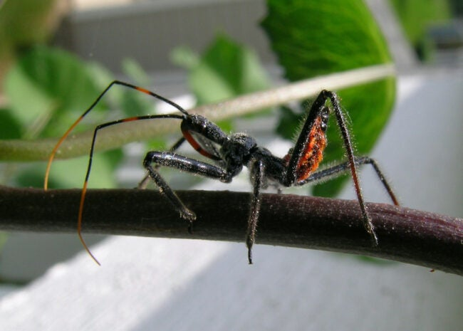 assassin bug on twig
