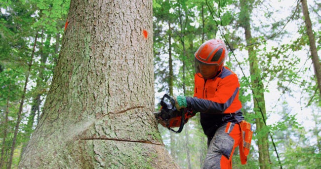 Lumberjack using chainsaw while cutting tree in forest.