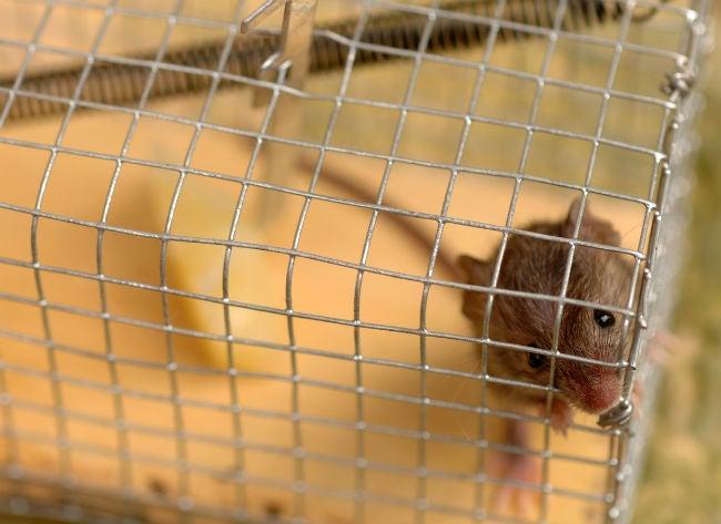 最好的捕鼠器选项DIY害虫维护