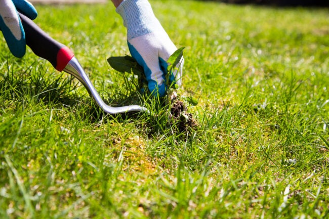 Pulling Weeds Weed When Soil is Wet