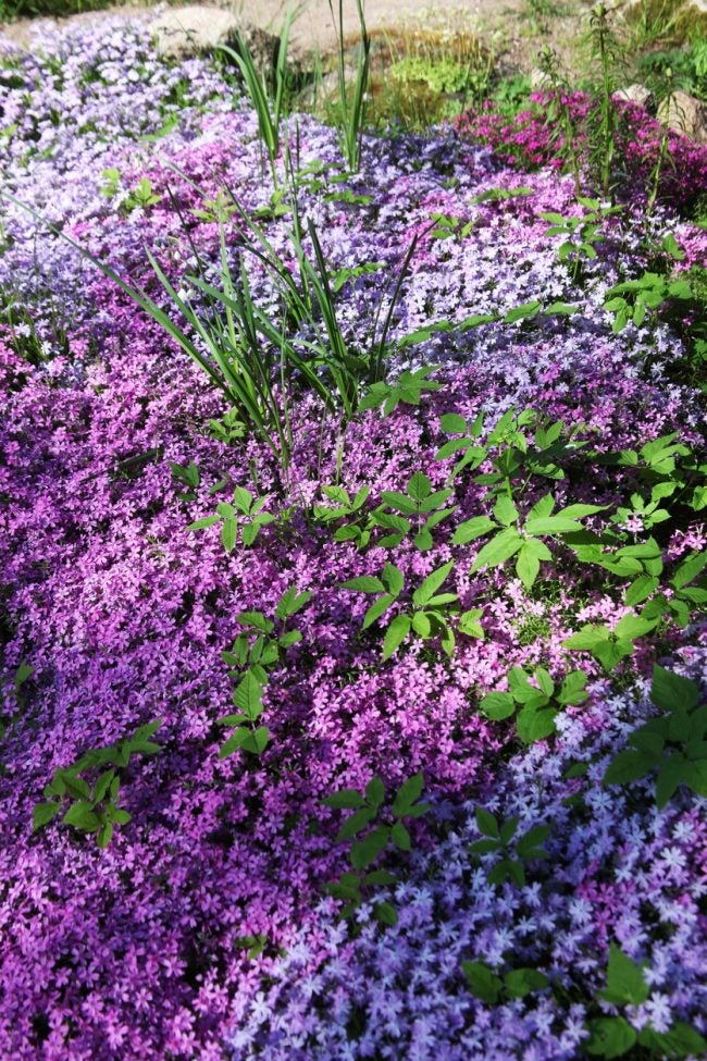The Best Plants for Erosion Control: Creeping Phlox