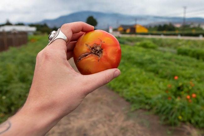 Tomato Plant Problems: Fruit Cracks