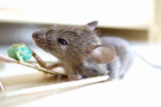 The Best Rat Poison Option