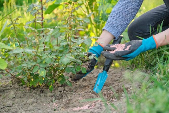 花园的最佳玫瑰肥料选择
