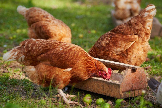 The Best Chicken Feed Options