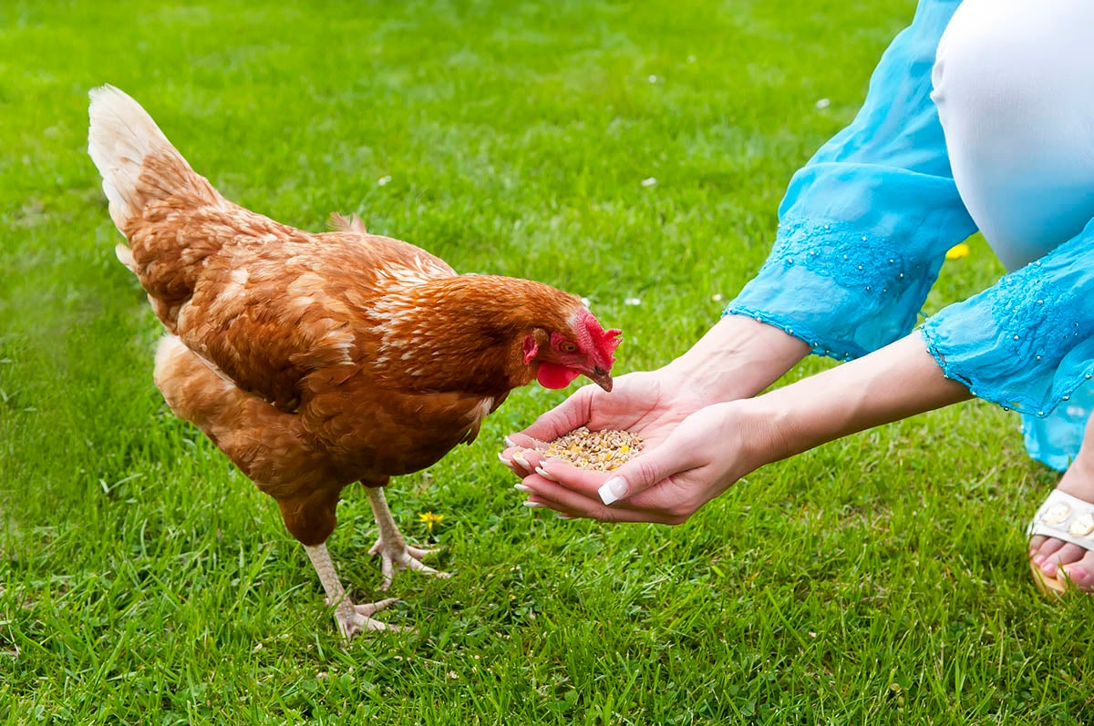 The Best Chicken Feeds for the Homestead   Bob Vila