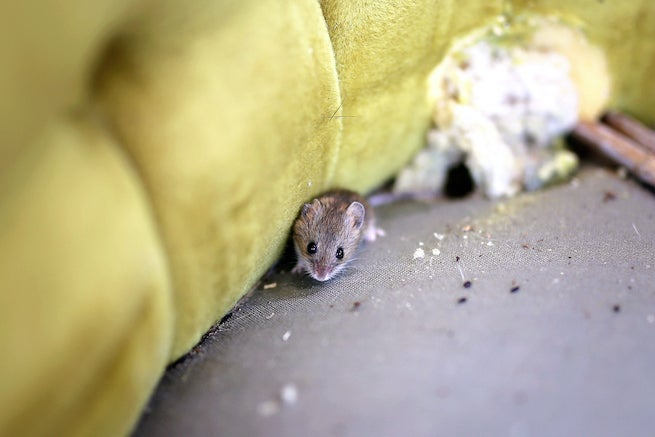 mouse problem in house
