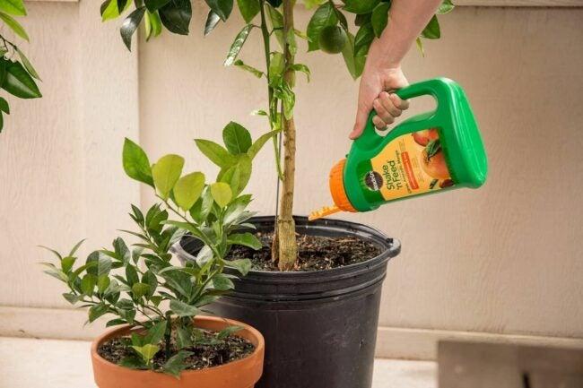 The Best Citrus Fertilizer Option