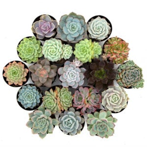 The Best Indoor Succulent Options: Leaf & Clay 'Awesome Echeveria' Pack