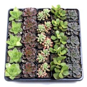 The Best Indoor Succulent Options: Mountain Crest Gardens Indoor Succulent Tray