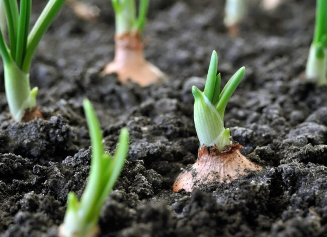 closeup-of-growing-onion-plantation-picture-id910616490