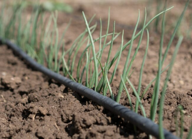 green-onion-seedling-drip-irrigation-system-picture-id1159352345