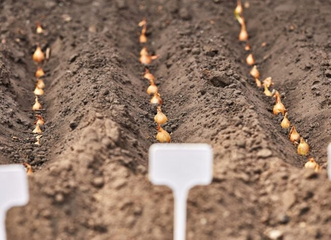 manual-planting-of-onions-in-the-ground-spring-gardening-garden-tools-picture-id1224855023