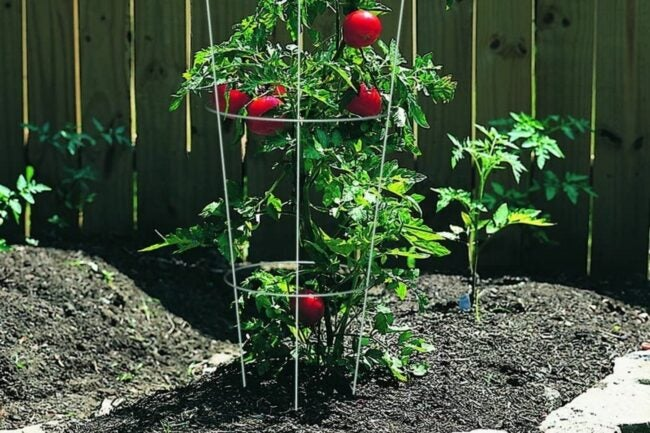 The Best Tomato Cages Option
