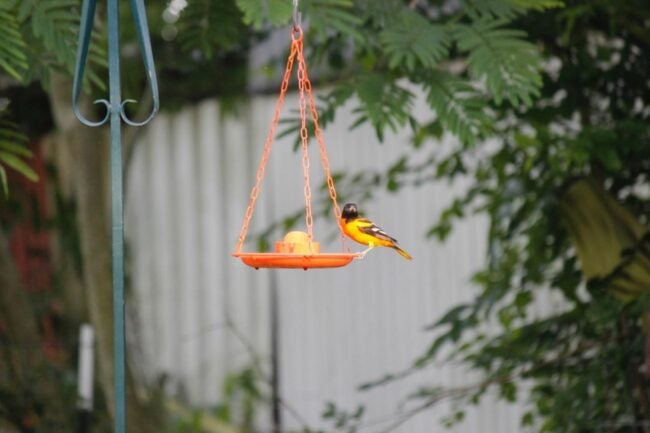 The Best Oriole Feeder Option