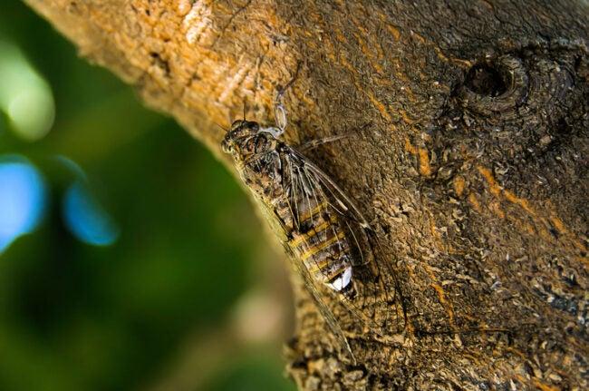 How to Get Rid of Cicadas