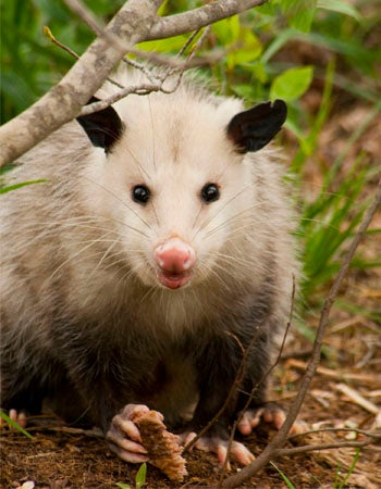 How to Get Rid of Possums Tips