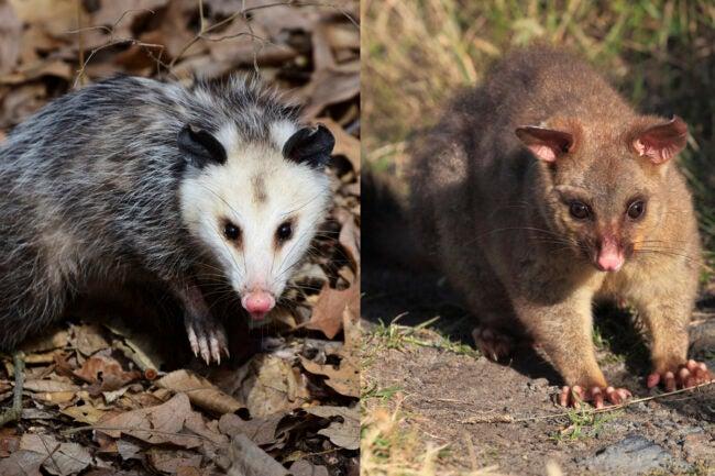 Possum vs. Opossum