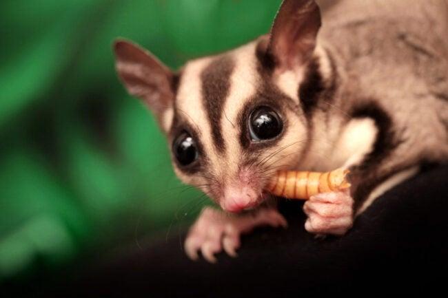 Possum vs. Opossum Possum Glider