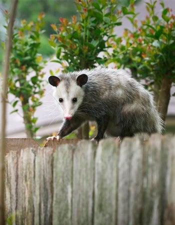 Possum vs. Opossum Location
