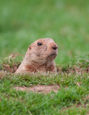 Tips on How to Get Rid of Groundhogs