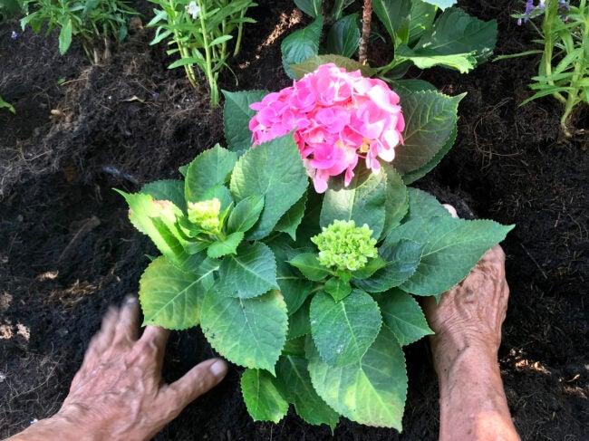 Best Fertilizer for Hydrangeas Options